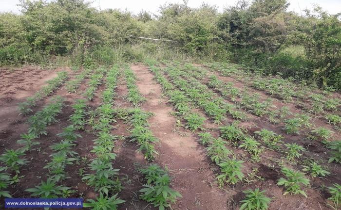 Zlikwidowali plantacje marihuany - kilkaset roślin
